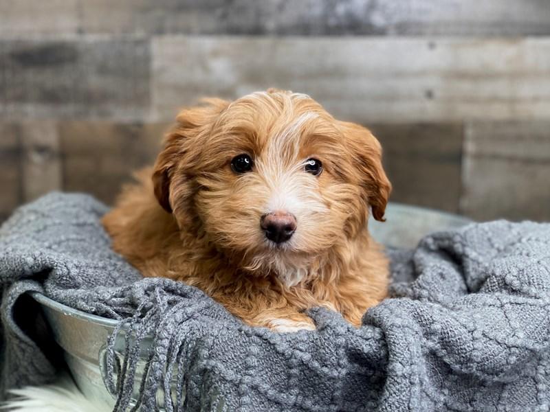 Petite Goldendoodle – Boomer