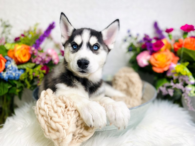 Siberian Husky-Female-Gray / White-2985343-The Barking Boutique