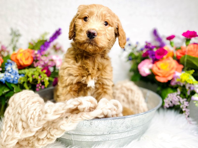 Goldendoodle 2nd Gen-Male-Cream-2985322-The Barking Boutique