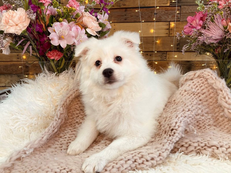 American Eskimo Dog-Female-White-2985333-The Barking Boutique