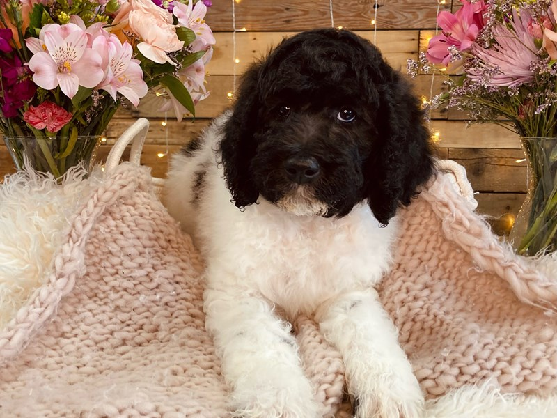 Poodle Standard-Male-Black / White-2985328-The Barking Boutique