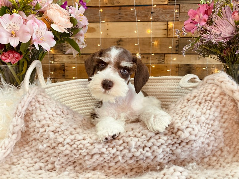 Miniature Schnauzer-Male-Chocolate / White-2985334-The Barking Boutique