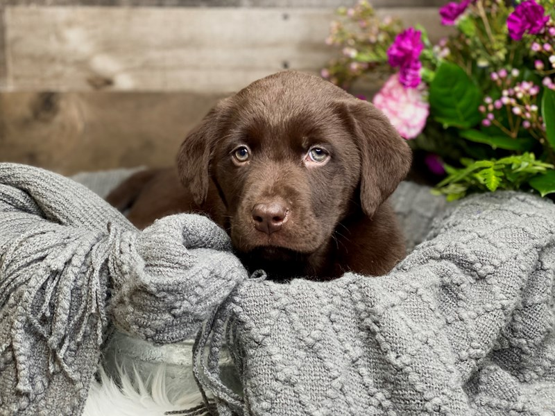 Chocolate Lab-Male-Chocolate-2990339-The Barking Boutique