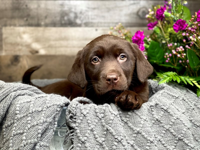 Chocolate Lab-Female-Chocolate-2990414-The Barking Boutique