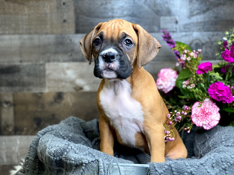 Boxer-Male-Fawn-2990970-The Barking Boutique
