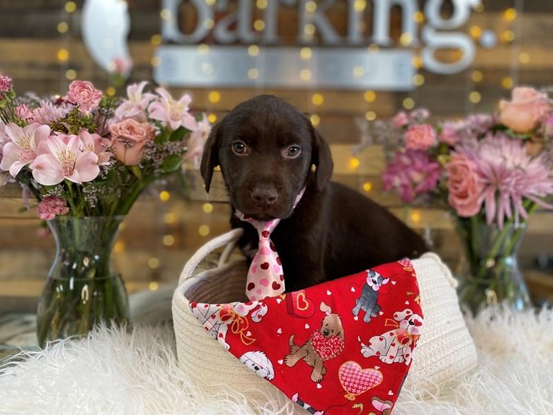 Labrador Retriever-Male-Chocolate-2990673-The Barking Boutique