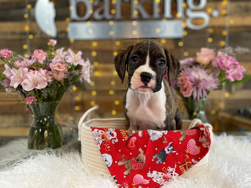 Boxer-Female-Brindle-2990974-The Barking Boutique