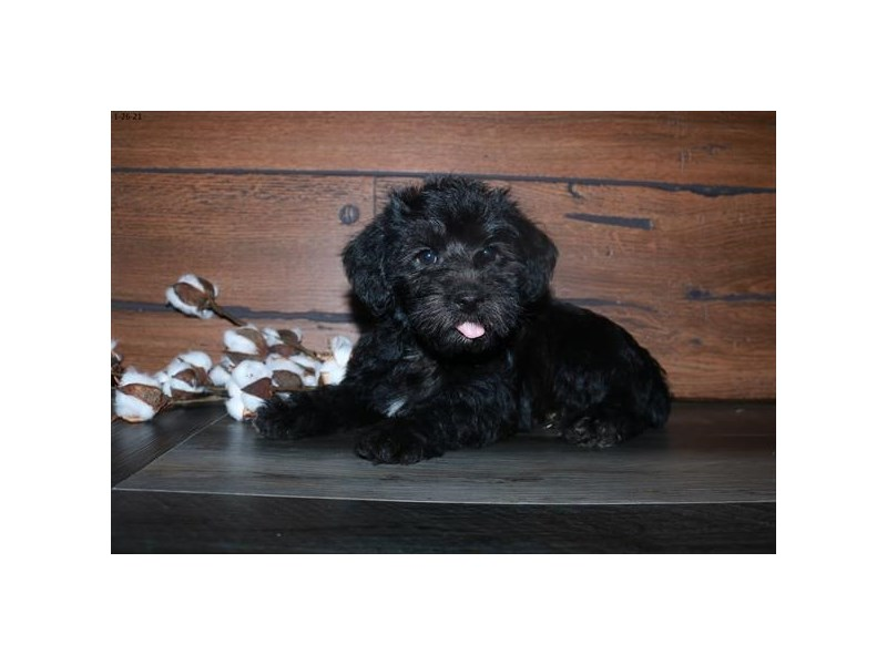 Poodle Mini-Male-Black-2994014-The Barking Boutique