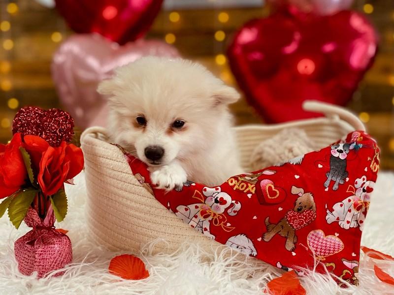 American Eskimo Dog – Mila