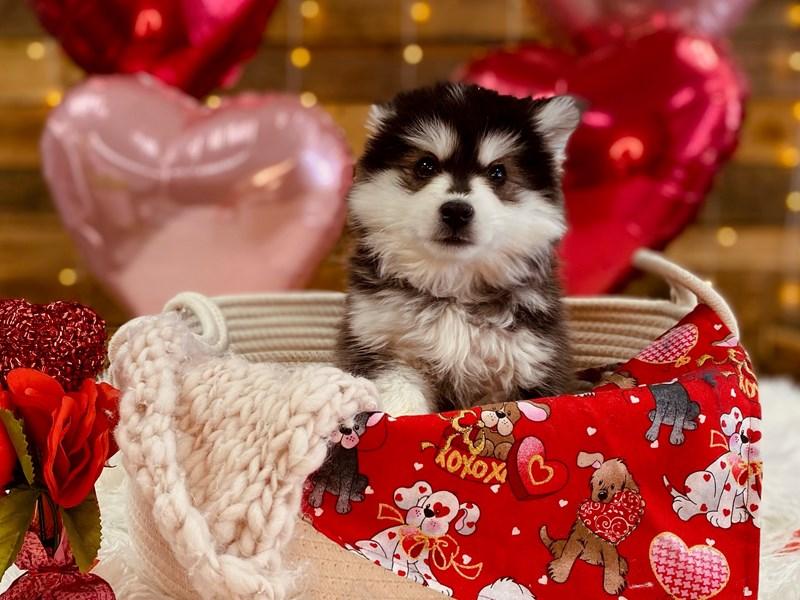 American Eskimo Dog – Valentina