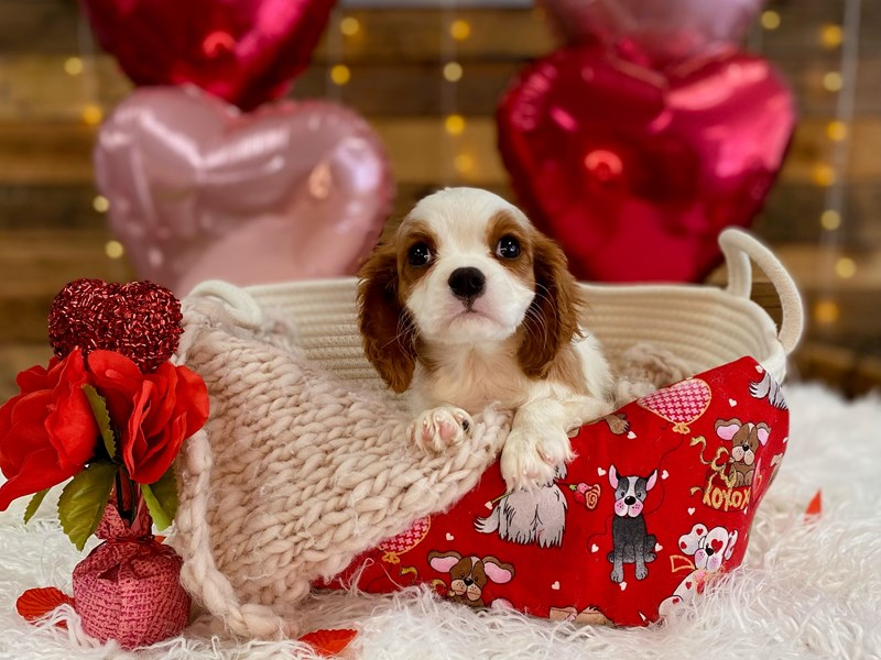 Cavalier King Charles Spaniel-Male-Blenheim-2993994-The Barking Boutique