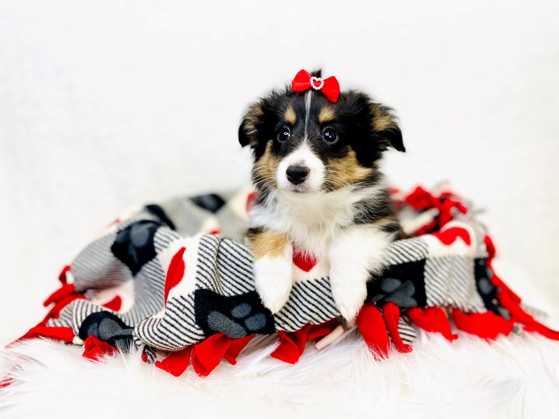 Shetland Sheepdog-Female-Black / White-2993984-The Barking Boutique