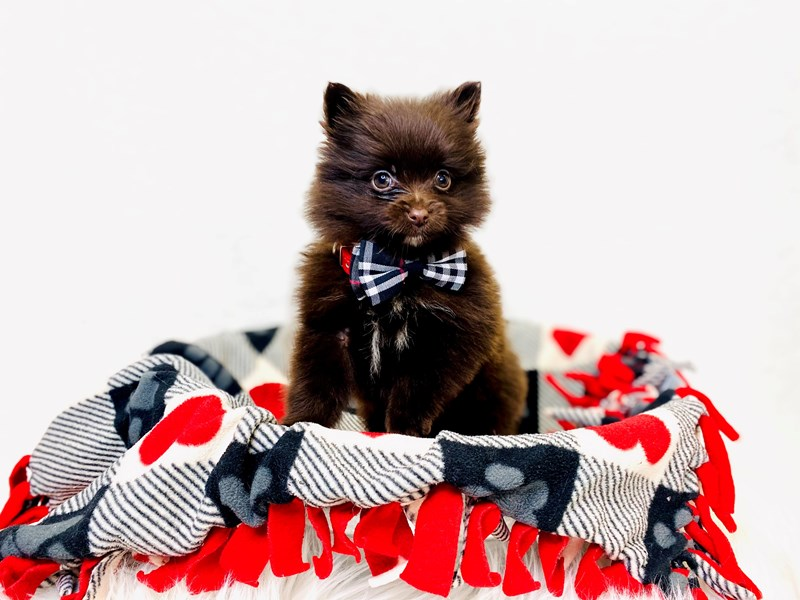 Pomeranian-Male-Chocolate Merle-2993989-The Barking Boutique