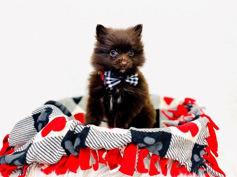 Pomeranian – Hashbrown