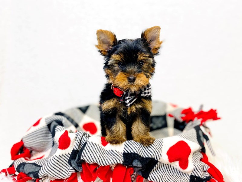 Yorkshire Terrier-Male-Black / Tan-2993995-The Barking Boutique