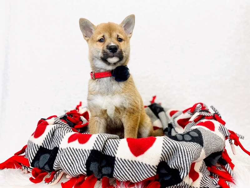 Shiba Inu-Female-Brown-2994005-The Barking Boutique