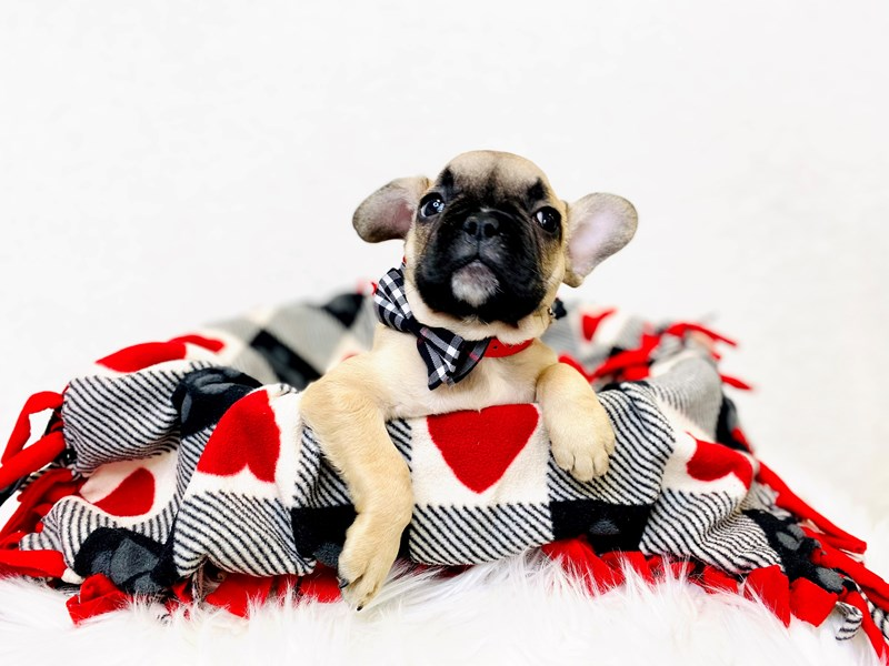 French Bulldog-Male-Fawn-2994009-The Barking Boutique