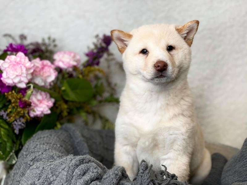Shibamo-Female-Cream-2998864-The Barking Boutique