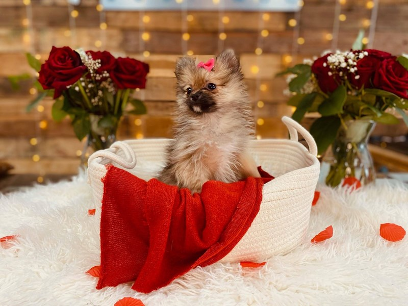 Pomeranian-Female--2999146-The Barking Boutique