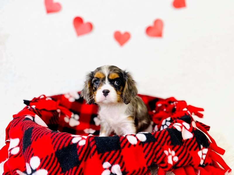 Cavalier King Charles Spaniel-Male-Blue Merle / White-3002303-The Barking Boutique