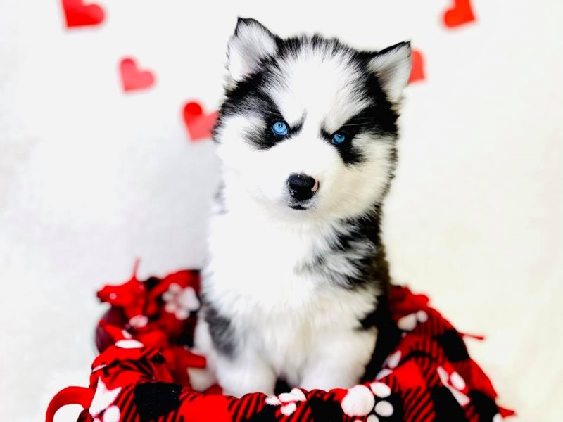 Siberian Husky-Female-Black / White-3002304-The Barking Boutique