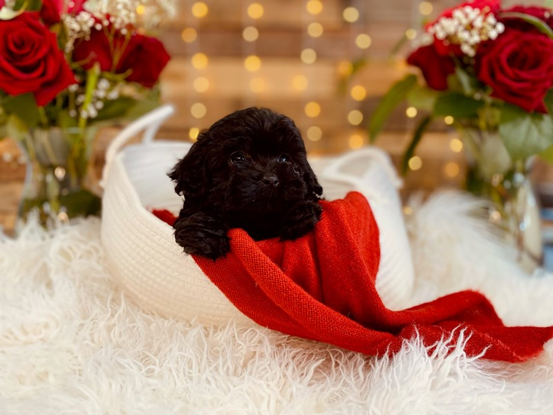 Shih Tzu/Poodle-Female-Black-3002297-The Barking Boutique