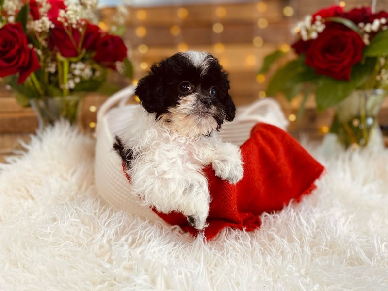 Shih Tzu/Poodle-Male-Black / White-3002300-The Barking Boutique