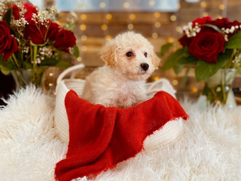 Poodle-Male-Cream-3002378-The Barking Boutique