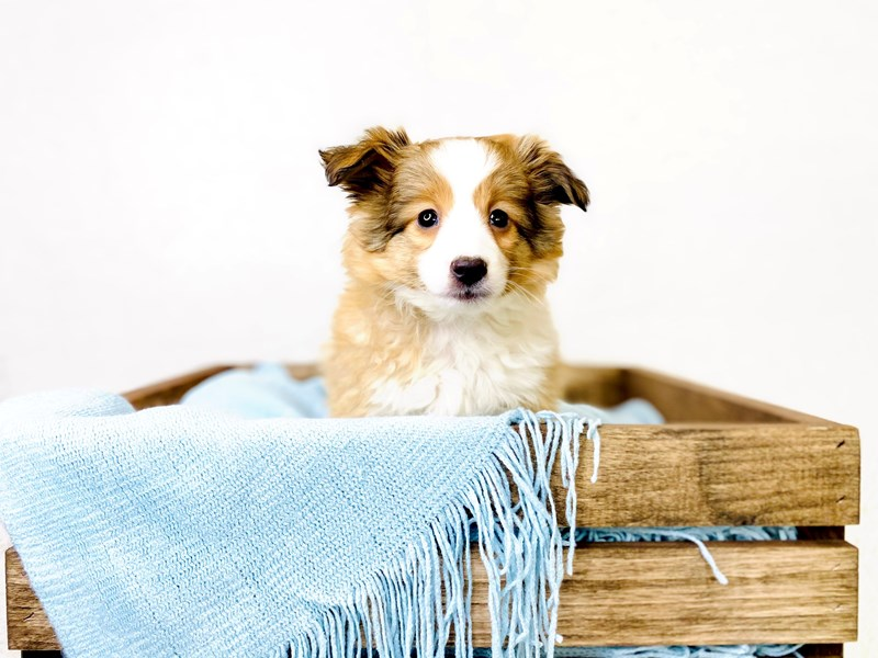 Shetland Sheepdog-Female-Sable / White-3011346-The Barking Boutique