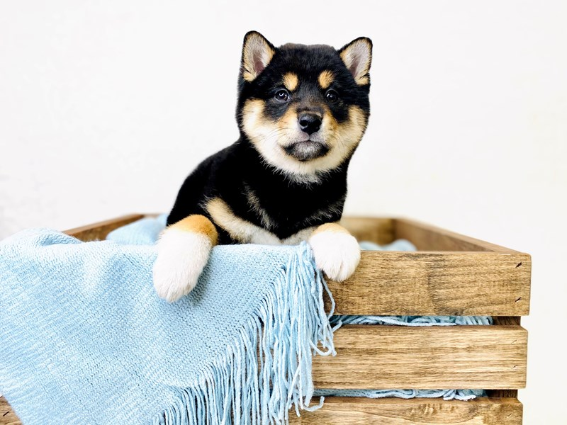 Shiba Inu-Female-Parti-3010476-The Barking Boutique