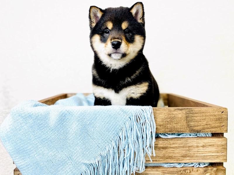 Shiba Inu-Male-Parti-3010481-The Barking Boutique