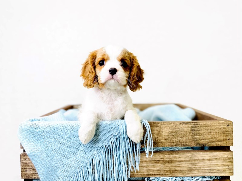 Cavalier King Charles Spaniel-Female-Blenheim-3011348-The Barking Boutique