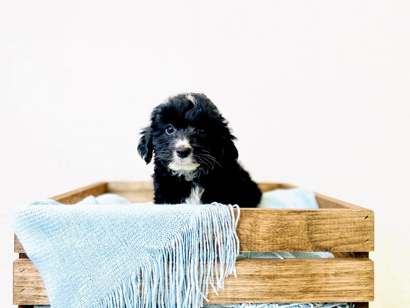 Australian Shepherd/Poodle-Male-Black / White-3011414-The Barking Boutique