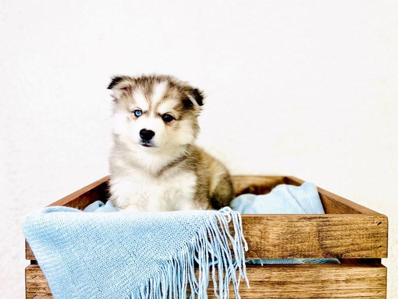 American Eskimo Dog/Siberian Husky-Female-Black / White-3011339-The Barking Boutique