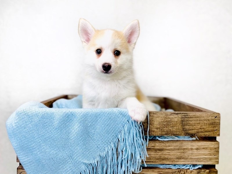 Pomsky-Male--3010658-The Barking Boutique