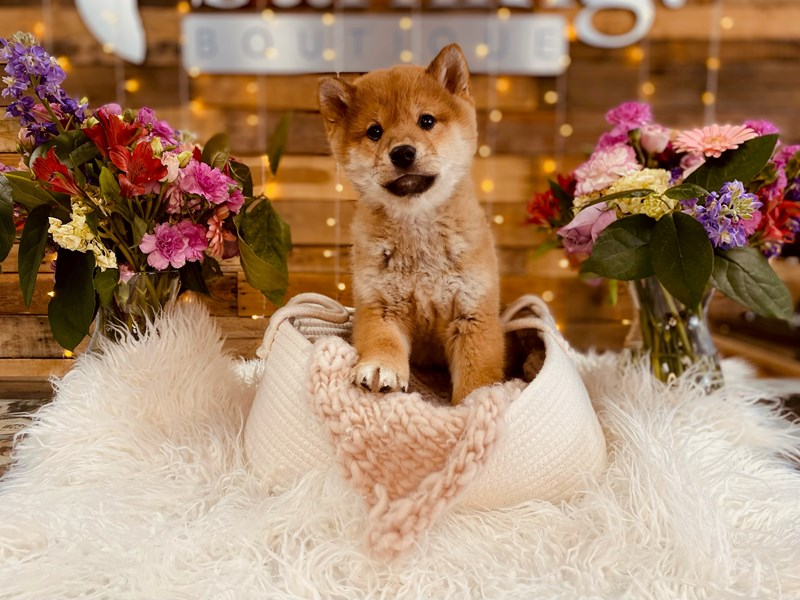 Shiba Inu-Male-Brown & White-3010833-The Barking Boutique