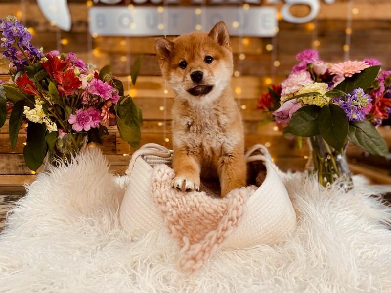 Shiba Inu-Male-Brown & White-3010833-The Barking Boutique
