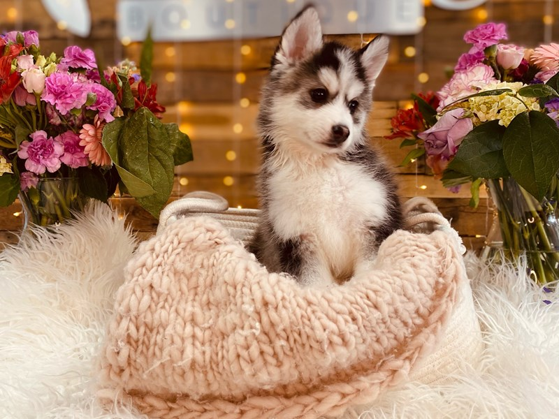 Pomsky-Male--3010888-The Barking Boutique