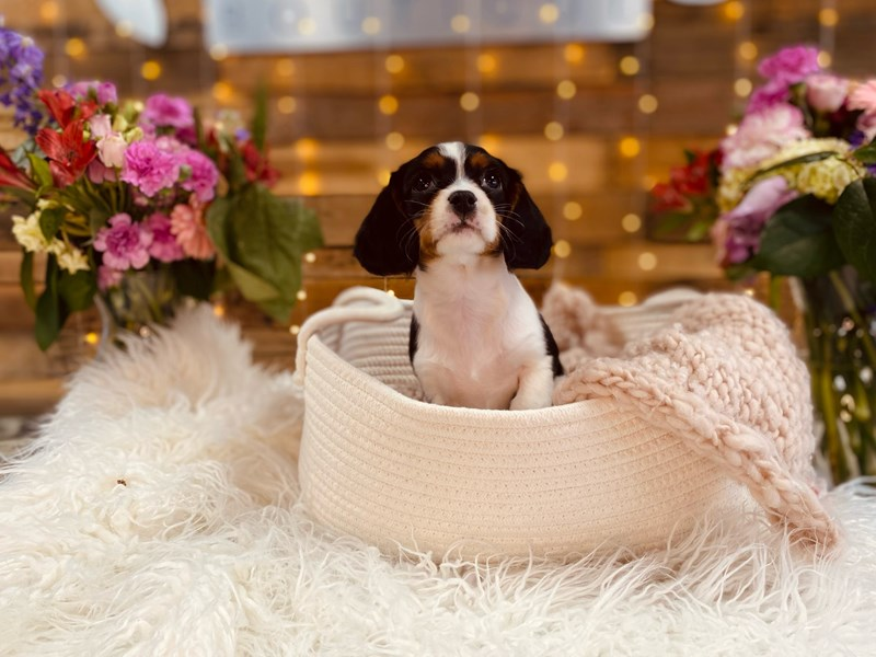 Cavalier King Charles Spaniel/Beagle-Female-Tri-Colored-3011425-The Barking Boutique