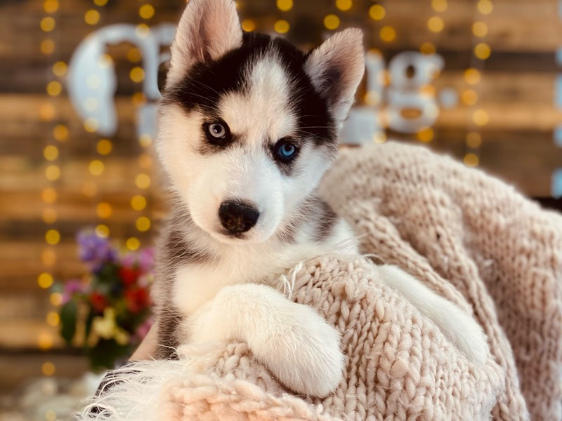 Siberian Husky-Female-Black / White-3011333-The Barking Boutique
