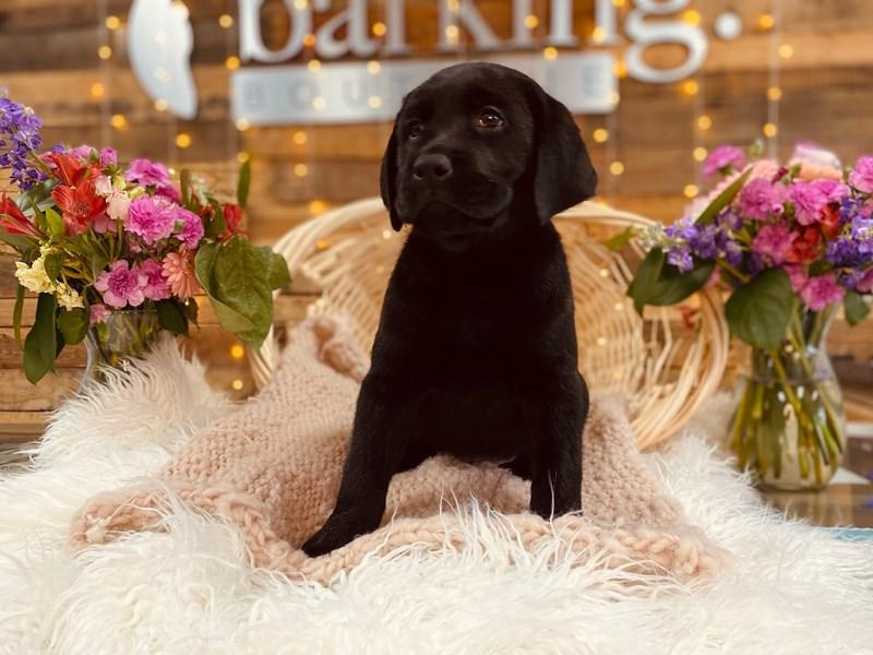 Labrador Retriever-Male-Black-3011347-The Barking Boutique
