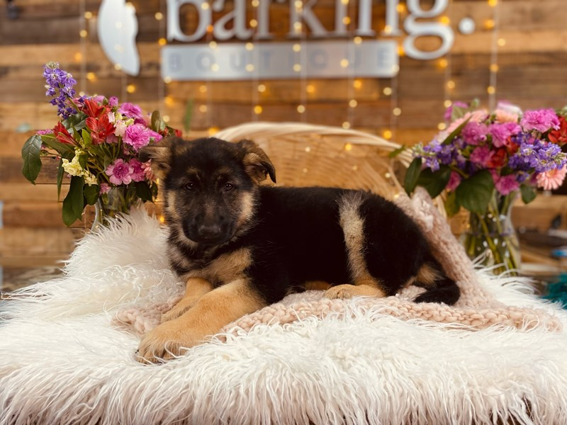 German Shepherd Dog-Male-Black / Tan-3011356-The Barking Boutique