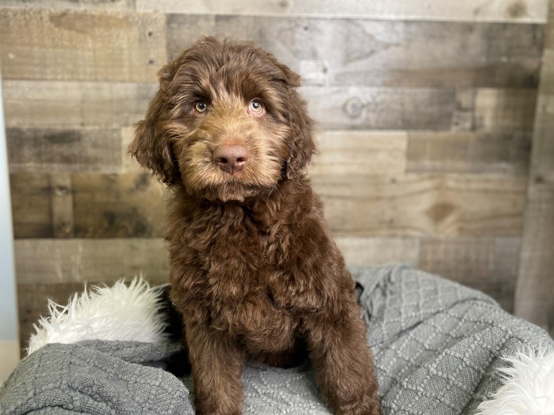 Labradoodle-Male-Chocolate-3018276-The Barking Boutique