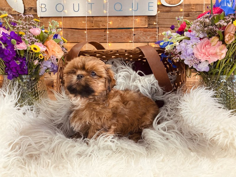 Shih Tzu-Male-Brown and White-3017726-The Barking Boutique