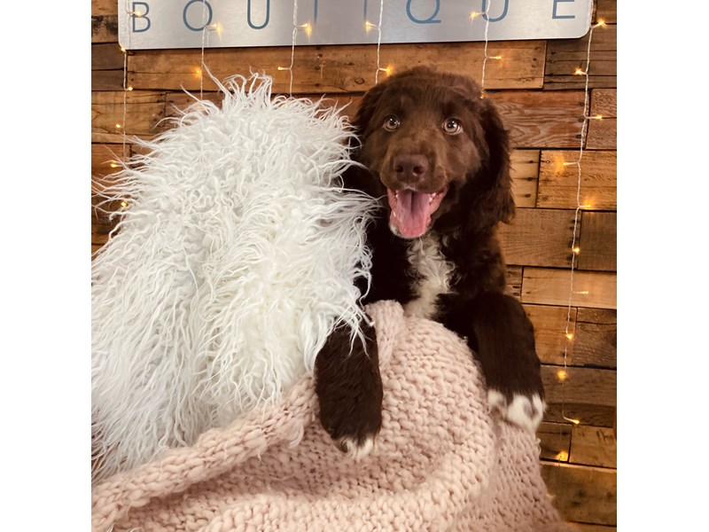 Labradoodle-Female-Chocolate and White-3018382-The Barking Boutique