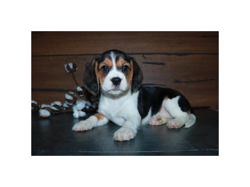 Cavalier King Charles Spaniel/Beagle-Female-Tri-Colored-3021195-The Barking Boutique