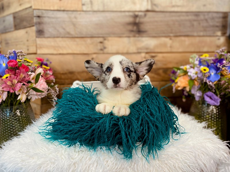 Cardigan Welsh Corgi-Female-Blue Merle-3021019-The Barking Boutique