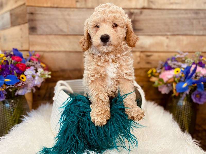 Goldendoodle Mini 2nd Gen-Male-Cream-3020897-The Barking Boutique