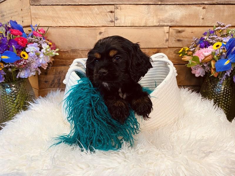 Cocker Spaniel-Female-Black-3020893-The Barking Boutique