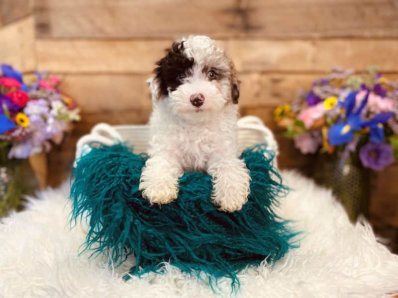Poodle-Female-White / Chocolate Merle-3021017-The Barking Boutique